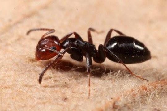 È stata scoperta una nuova specie di formica arboricola