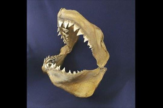 Il grande squalo bianco abita il Mediterraneo da almeno 3,2 milioni di anni (e ci è arrivato dall'Oceano Pacifico)