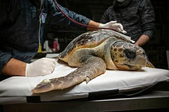 Plastica nell'Adriatico: le tartarughe marine sentinelle e vittime dell'inquinamento
